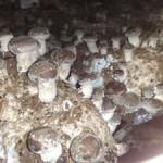 Bloco de Substrato para Cogumelos