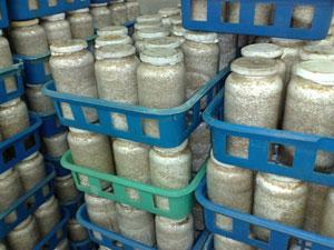 Cultivo de Cogumelos Shiitake, Cogumelos Shiitake, Cultivo de cogumelos, Cogumelos Shitaki, Produção de cogumelo, Produção de cogumelos